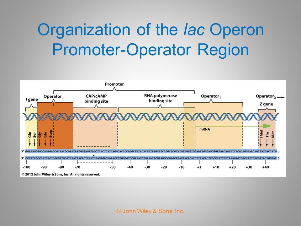 Organization of the lac Operon Promoter-Operator Region