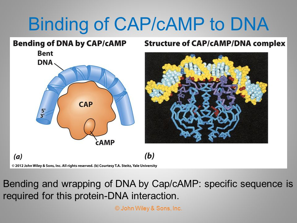 Binding of CAP/cAMP to DNA