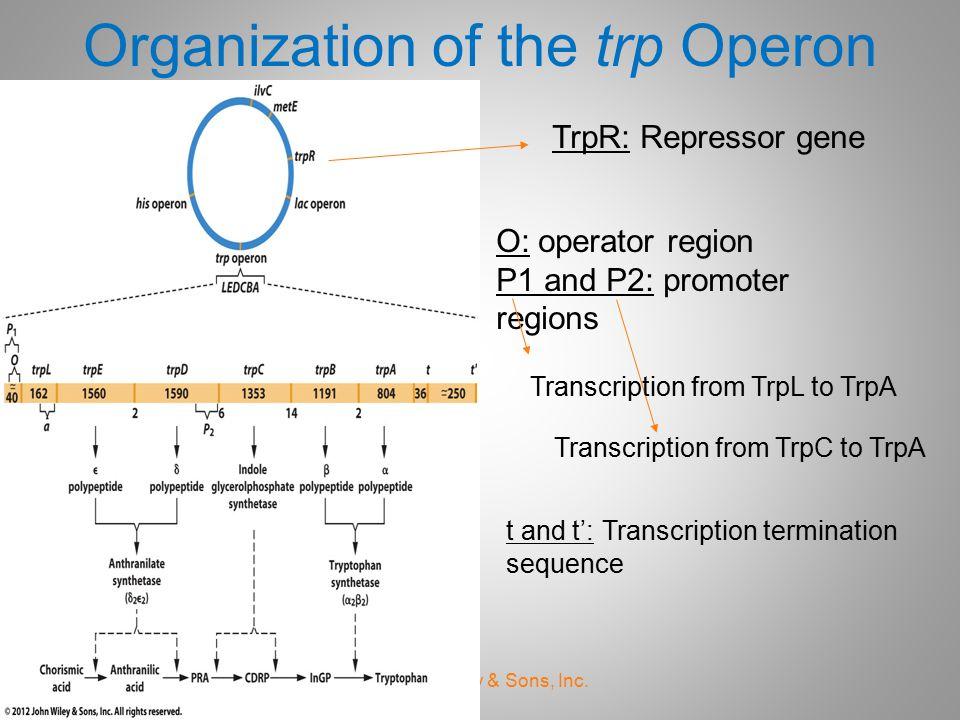 Organization of the trp Operon