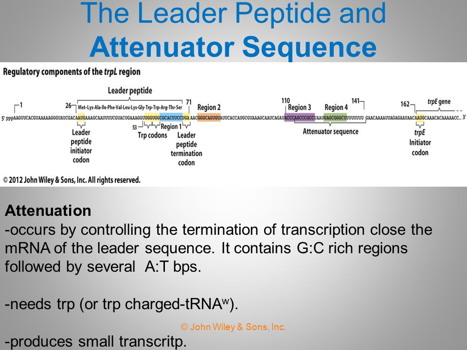 The Leader Peptide and Attenuator Sequence