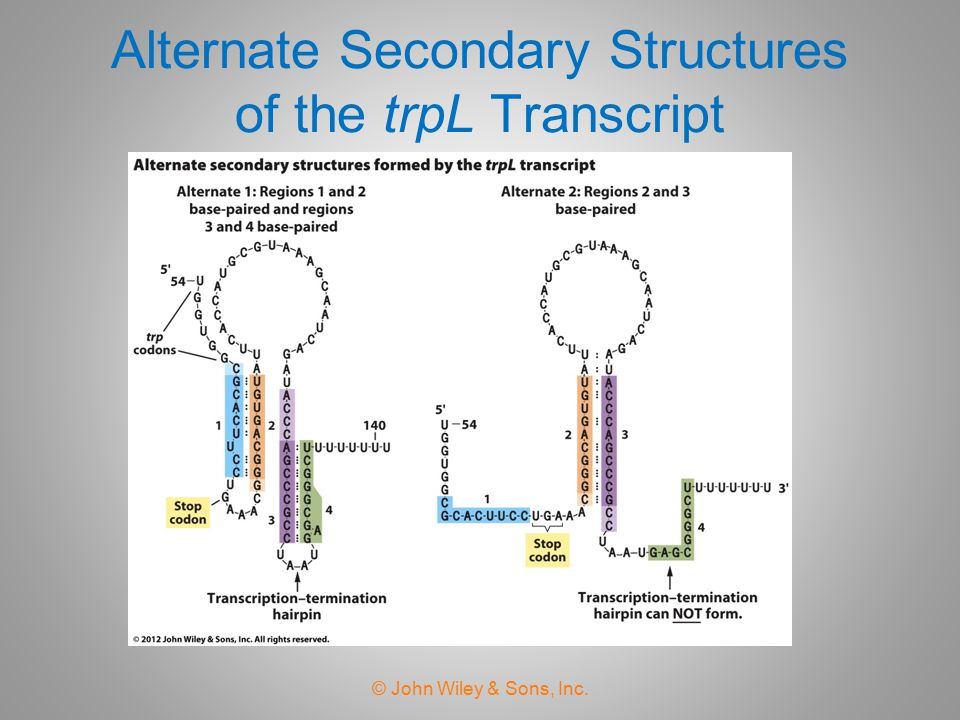 Alternate Secondary Structures of the trpL Transcript
