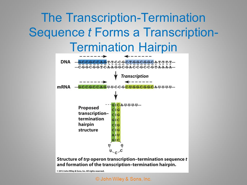 The Transcription-Termination Sequence t Forms a Transcription-Termination Hairpin