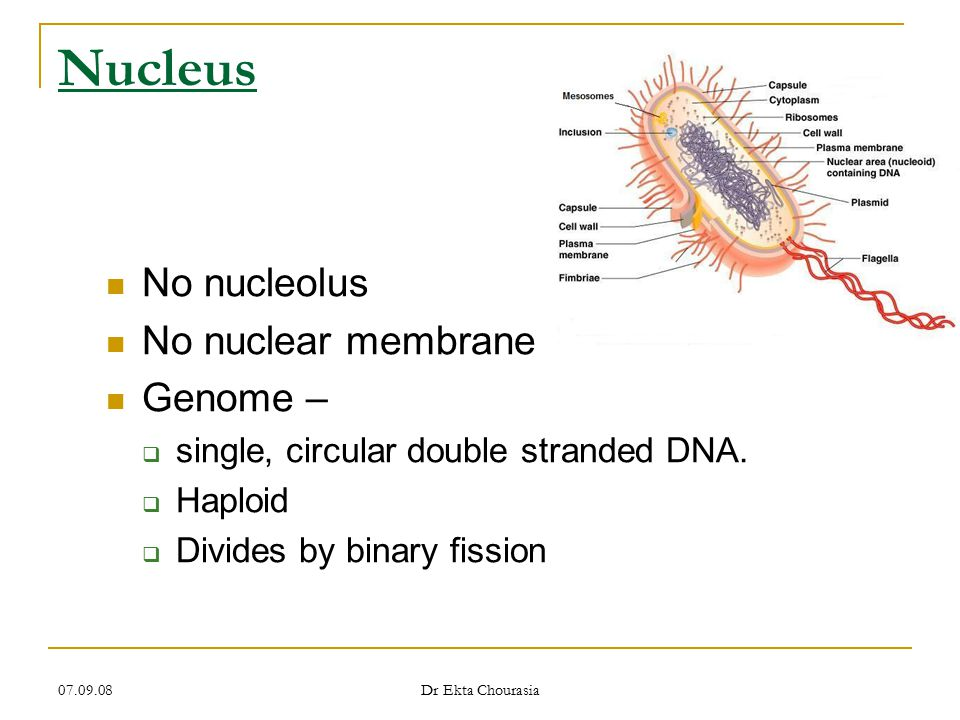 Nucleus No nucleolus No nuclear membrane Genome –