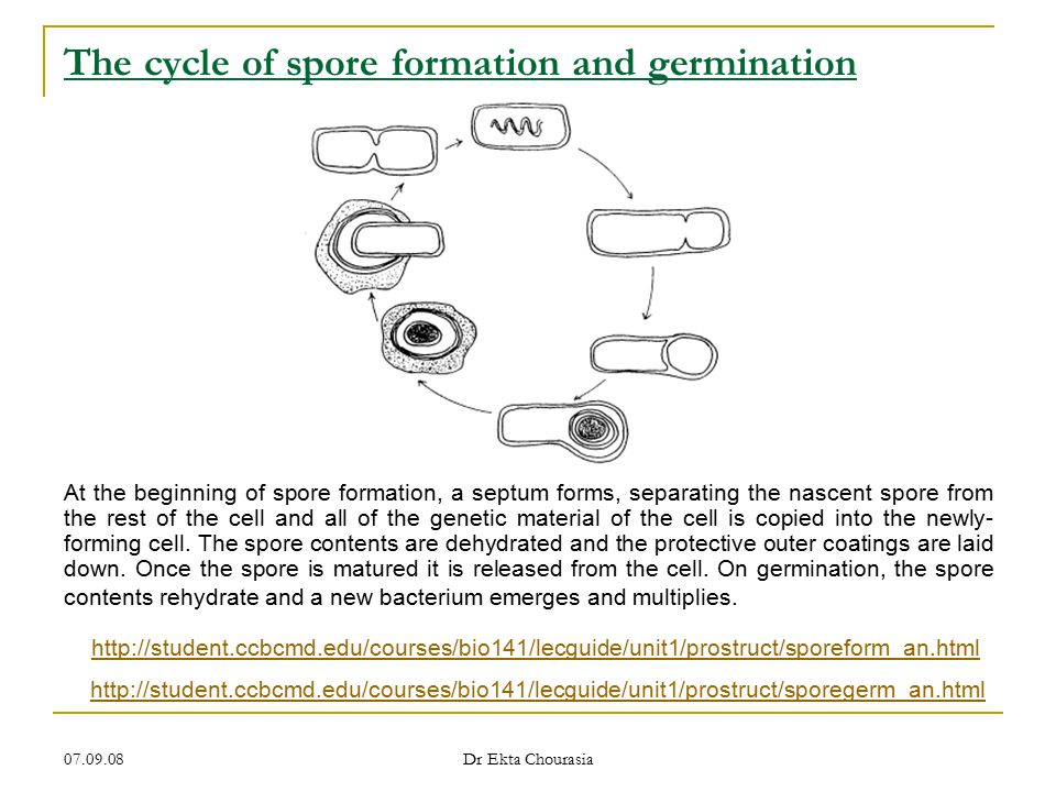 The cycle of spore formation and germination