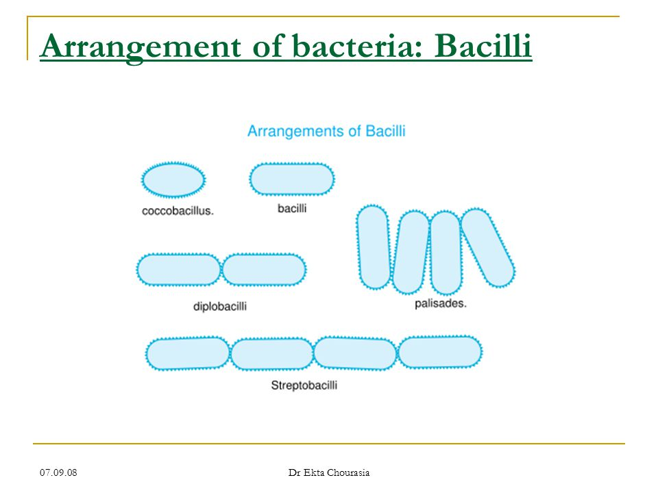 Arrangement of bacteria: Bacilli