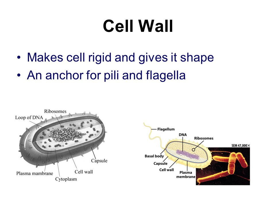 Cell Wall Makes cell rigid and gives it shape