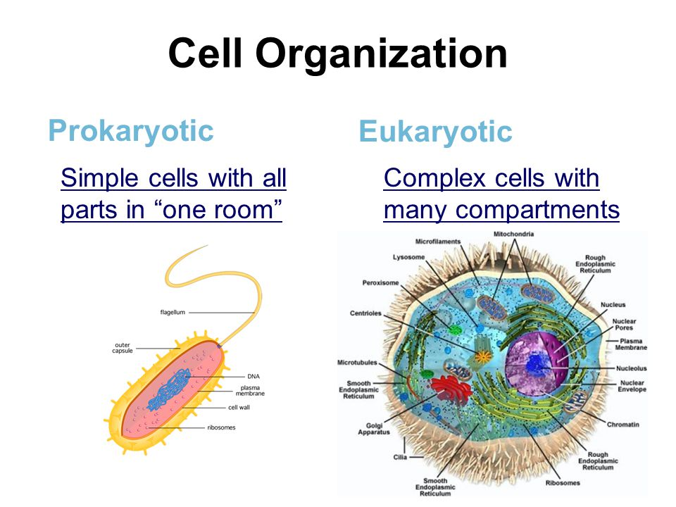Cell Organization Prokaryotic Eukaryotic