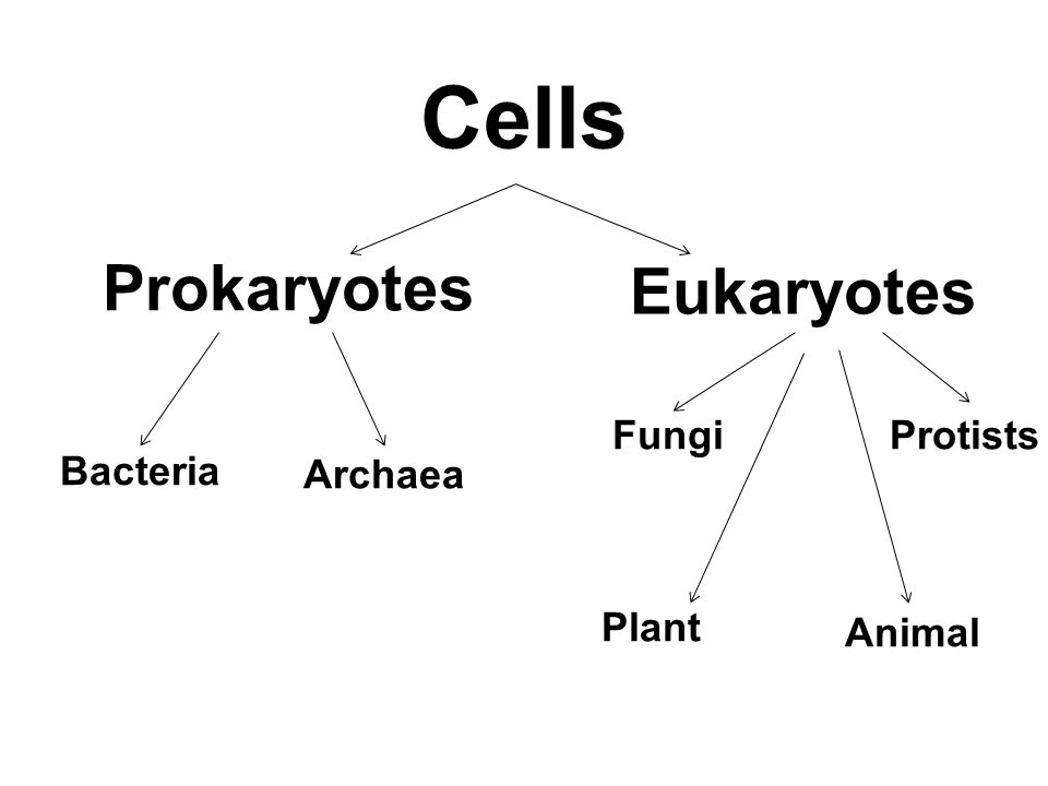 Cells Prokaryotes Eukaryotes Bacteria Fungi Protists Archaea Plant