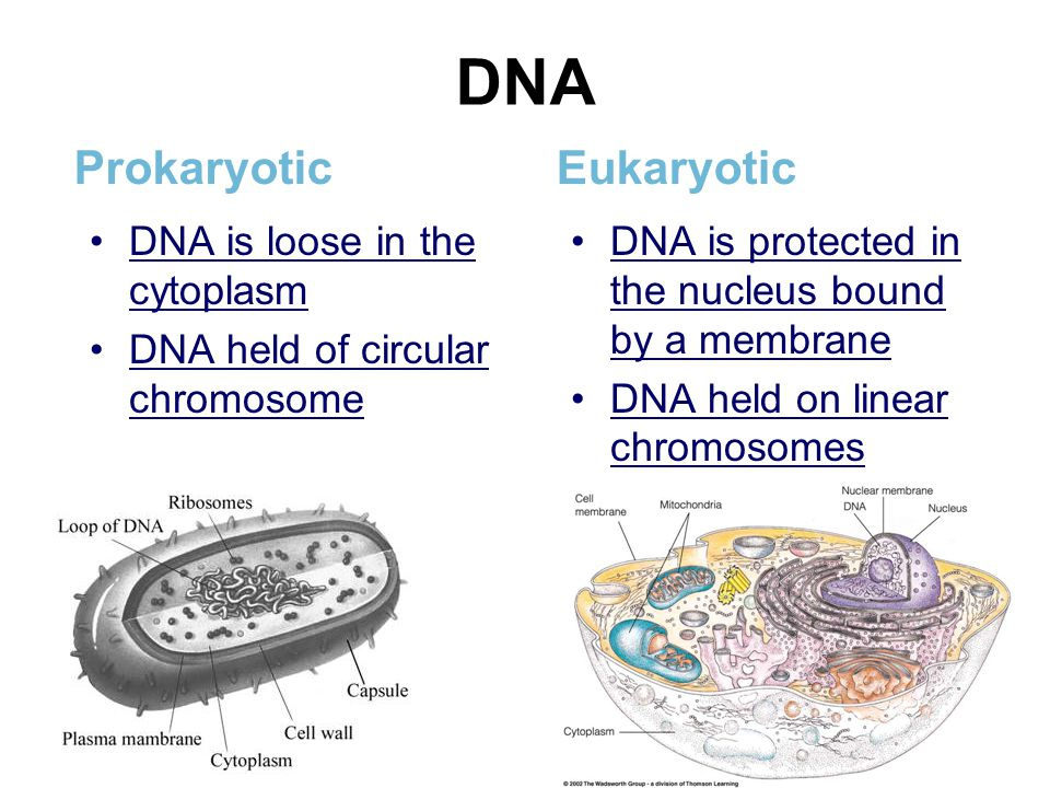 DNA Prokaryotic Eukaryotic DNA is loose in the cytoplasm