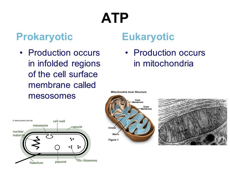 ATP Prokaryotic Eukaryotic