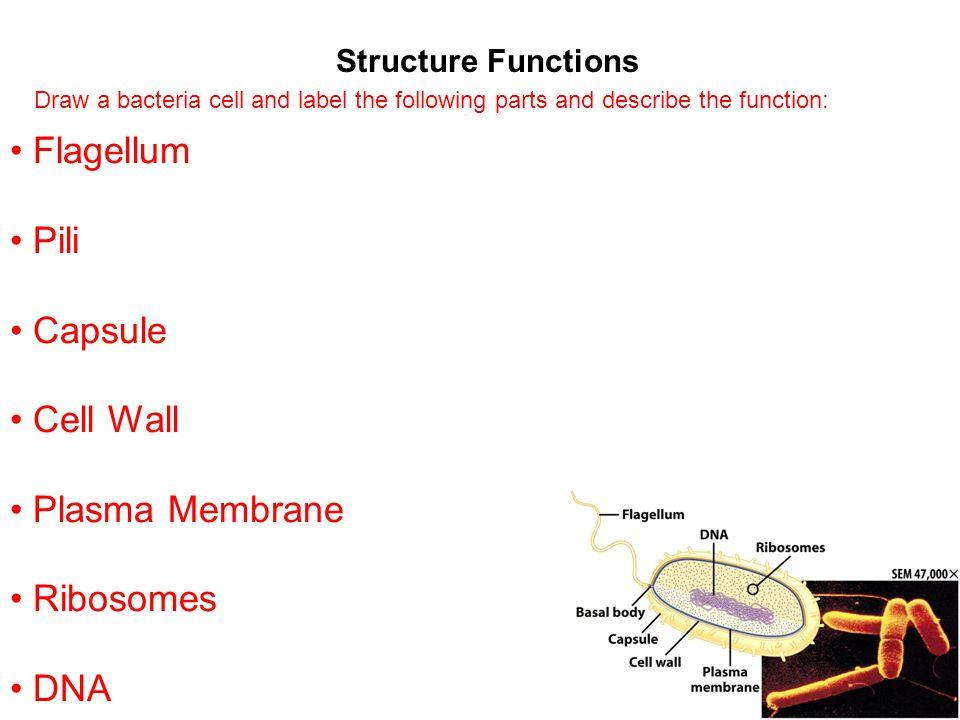 Flagellum Pili Capsule Cell Wall Plasma Membrane Ribosomes DNA