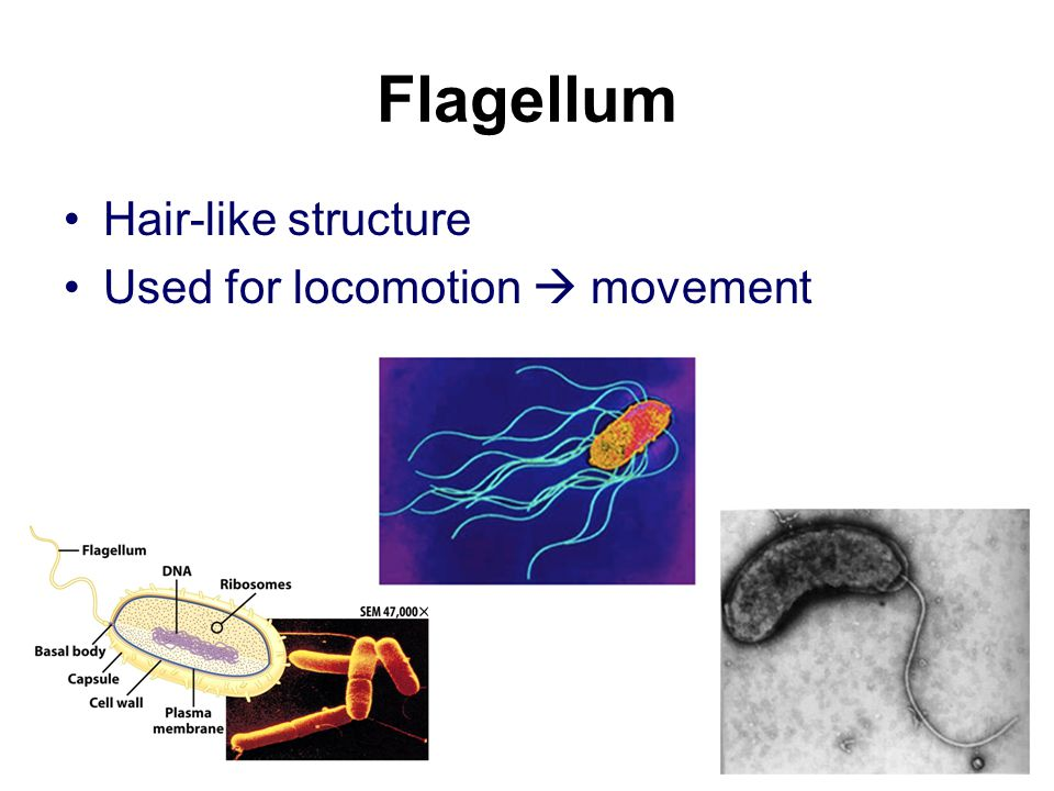 Flagellum Hair-like structure Used for locomotion  movement