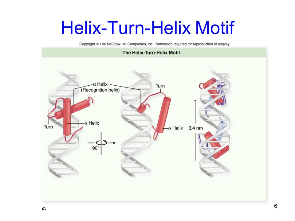 Helix-Turn-Helix Motif