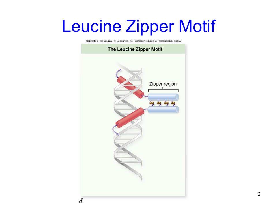 Leucine Zipper Motif