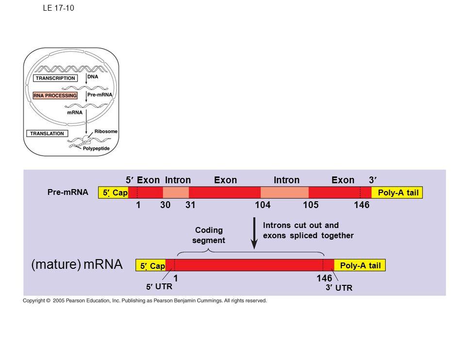 (mature) mRNA 5¢ Exon Intron Exon Intron Exon 3¢ 1 30 31 104 105 146 1