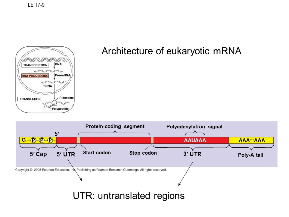 Architecture of eukaryotic mRNA
