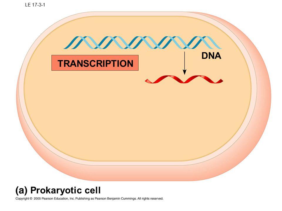 TRANSCRIPTION Prokaryotic cell