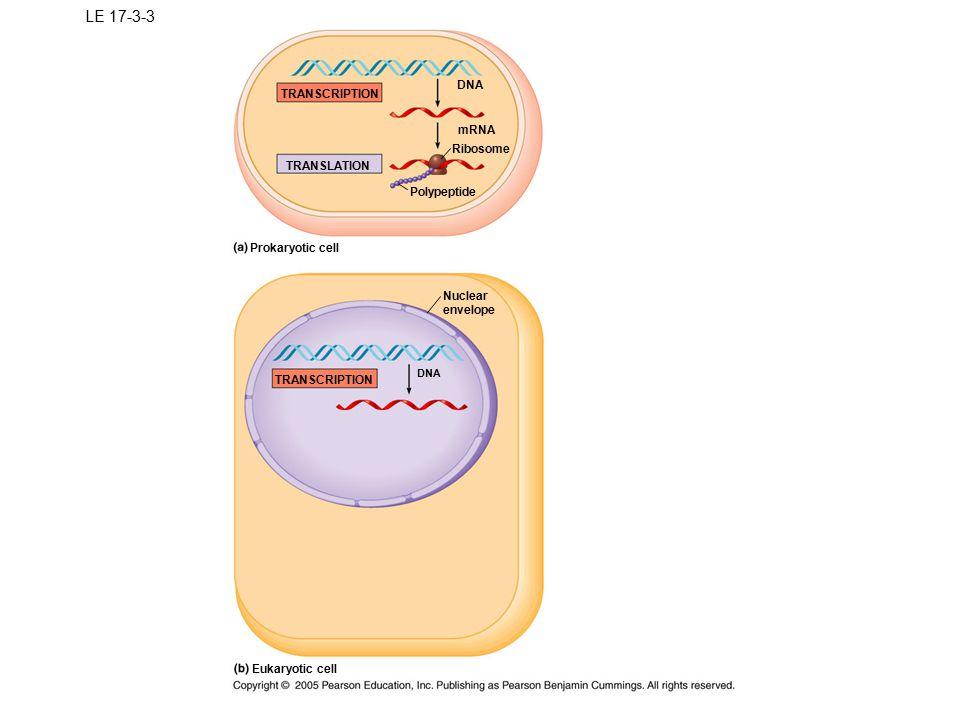 LE 17-3-3 DNA TRANSCRIPTION mRNA Ribosome TRANSLATION Polypeptide