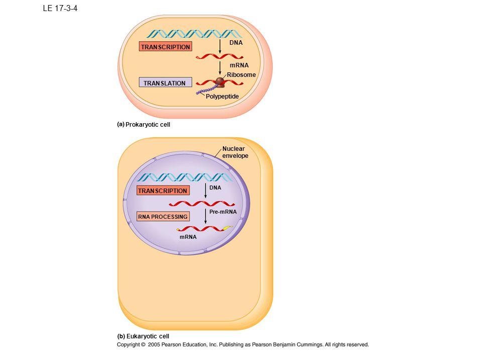 LE 17-3-4 DNA TRANSCRIPTION mRNA Ribosome TRANSLATION Polypeptide