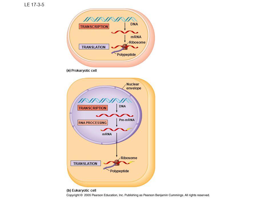 LE 17-3-5 DNA TRANSCRIPTION mRNA Ribosome TRANSLATION Polypeptide