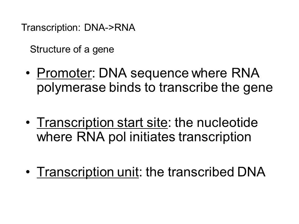 Transcription unit: the transcribed DNA