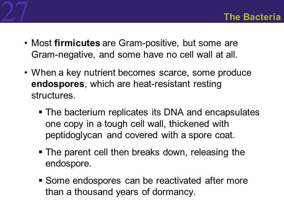 The Bacteria Most firmicutes are Gram-positive, but some are Gram-negative, and some have no cell wall at all.