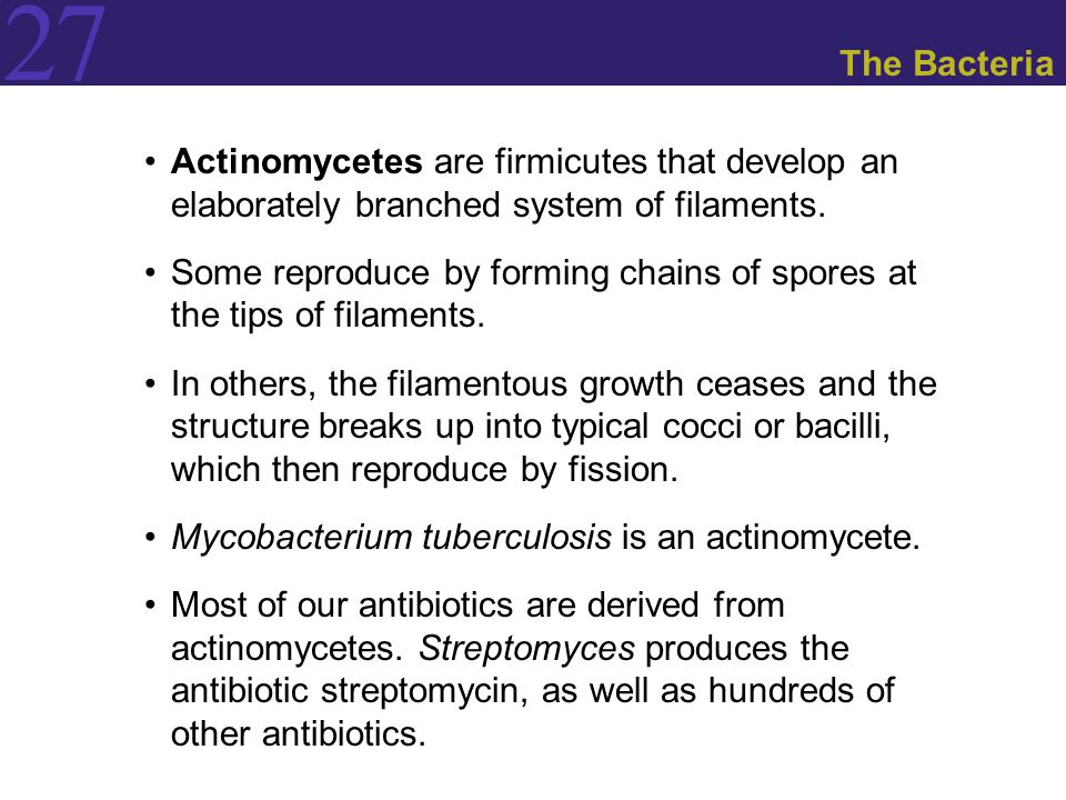 The Bacteria Actinomycetes are firmicutes that develop an elaborately branched system of filaments.