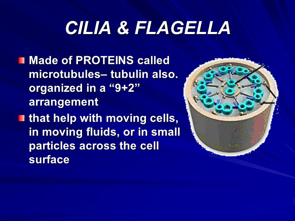 CILIA & FLAGELLA Made of PROTEINS called microtubules– tubulin also. organized in a 9+2 arrangement.