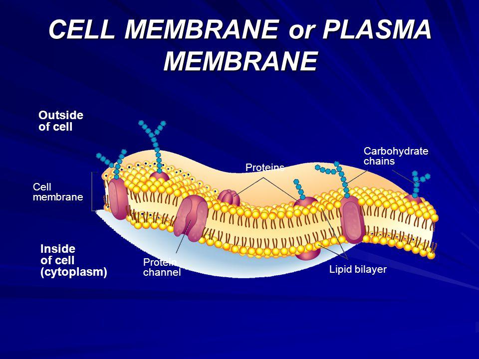 CELL MEMBRANE or PLASMA MEMBRANE