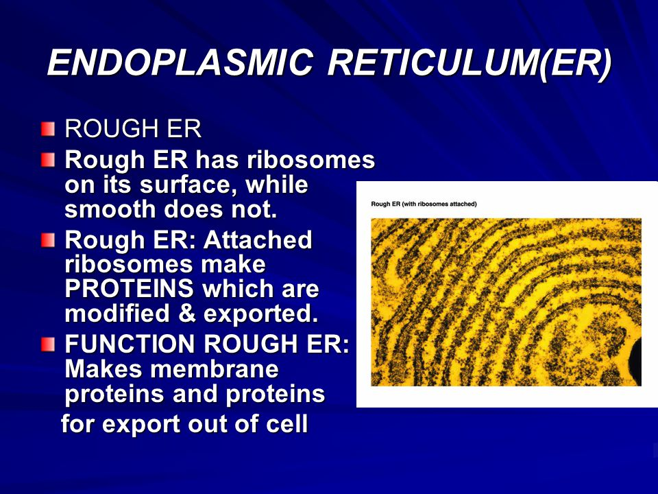 ENDOPLASMIC RETICULUM(ER)