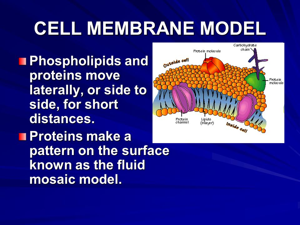 CELL MEMBRANE MODEL Phospholipids and proteins move laterally, or side to side, for short distances.