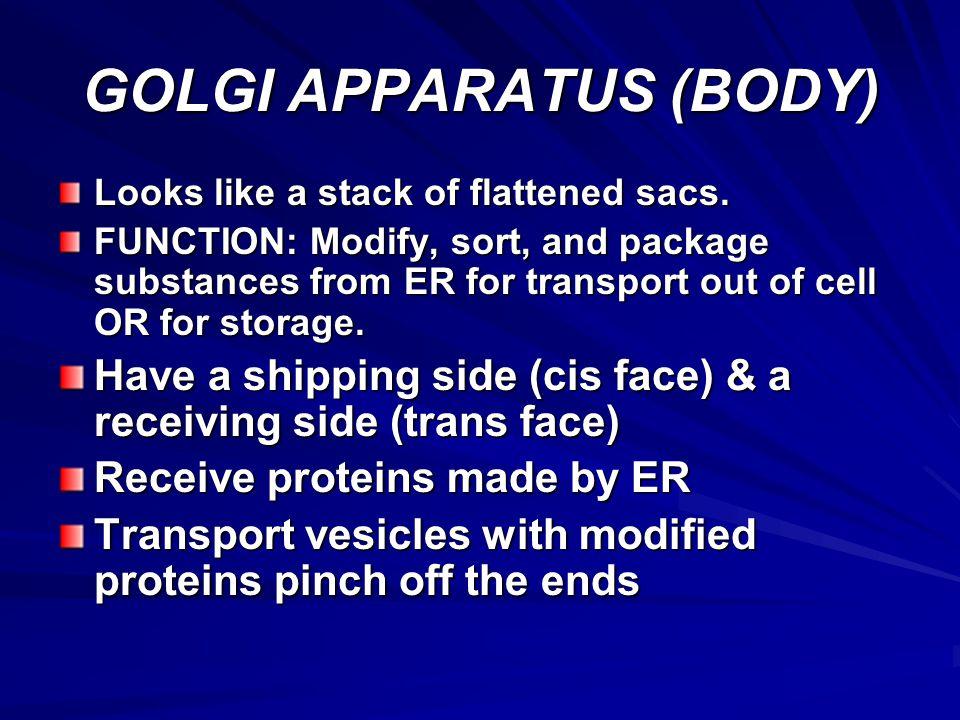 GOLGI APPARATUS (BODY)