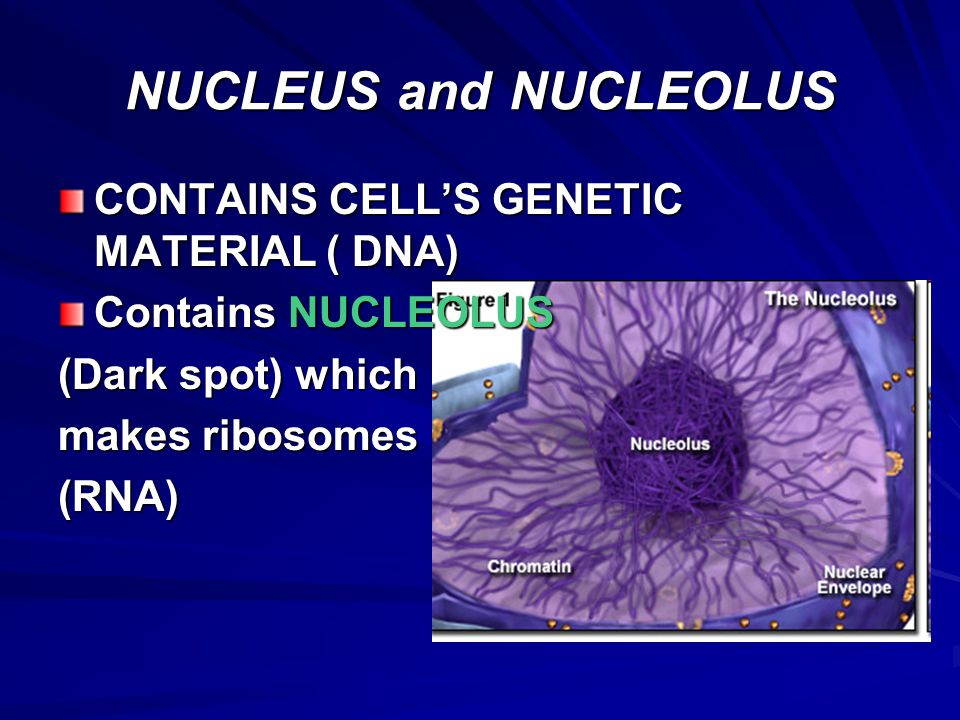 NUCLEUS and NUCLEOLUS CONTAINS CELL'S GENETIC MATERIAL ( DNA)