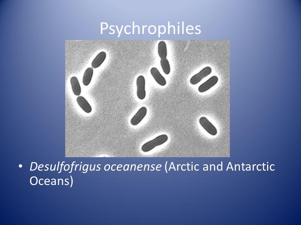 Psychrophiles Desulfofrigus oceanense (Arctic and Antarctic Oceans)