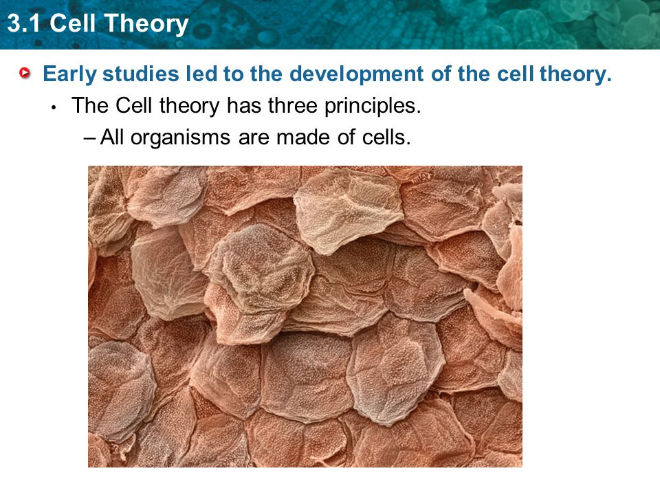 Early studies led to the development of the cell theory.