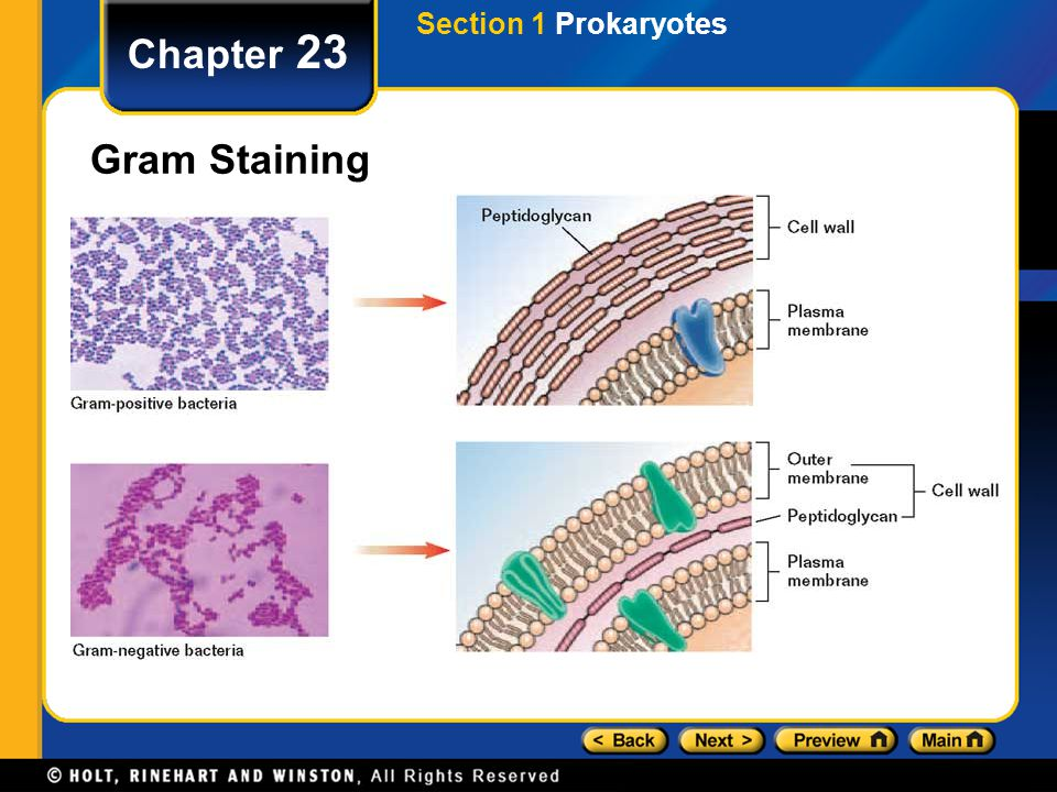 Section 1 Prokaryotes Chapter 23 Gram Staining