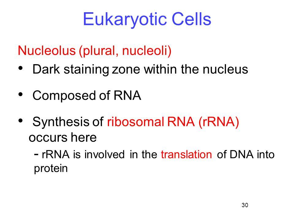 Eukaryotic Cells Nucleolus (plural, nucleoli)
