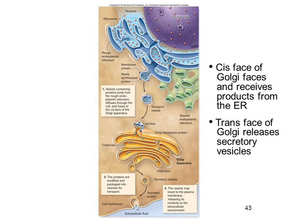 Cis face of Golgi faces. and receives. products from. the ER. Trans face of. Golgi releases. secretory.