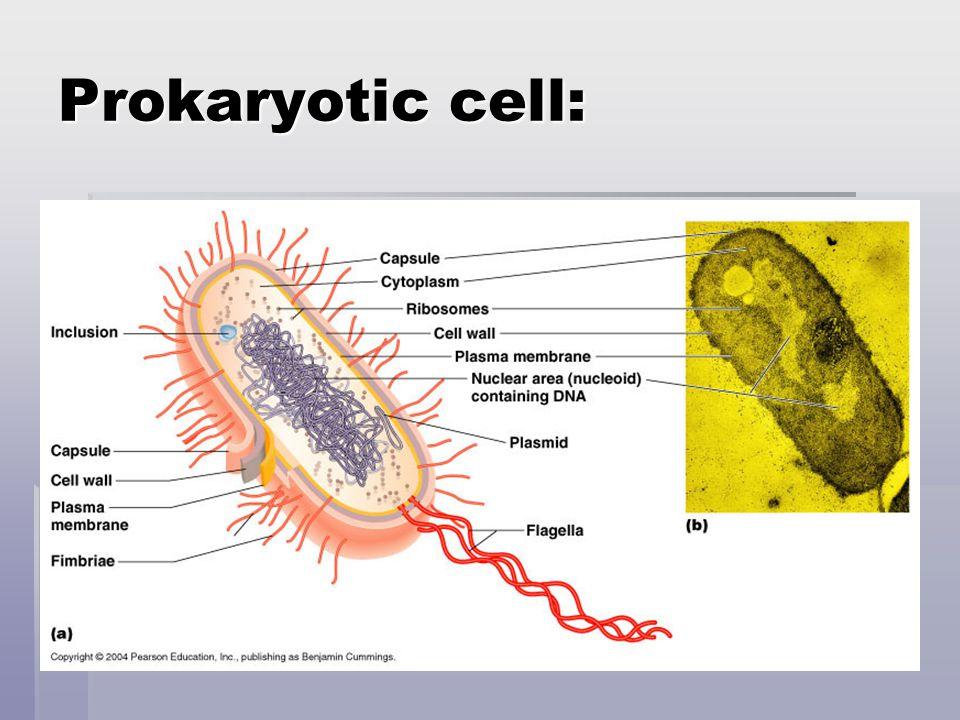 Prokaryotic cell: