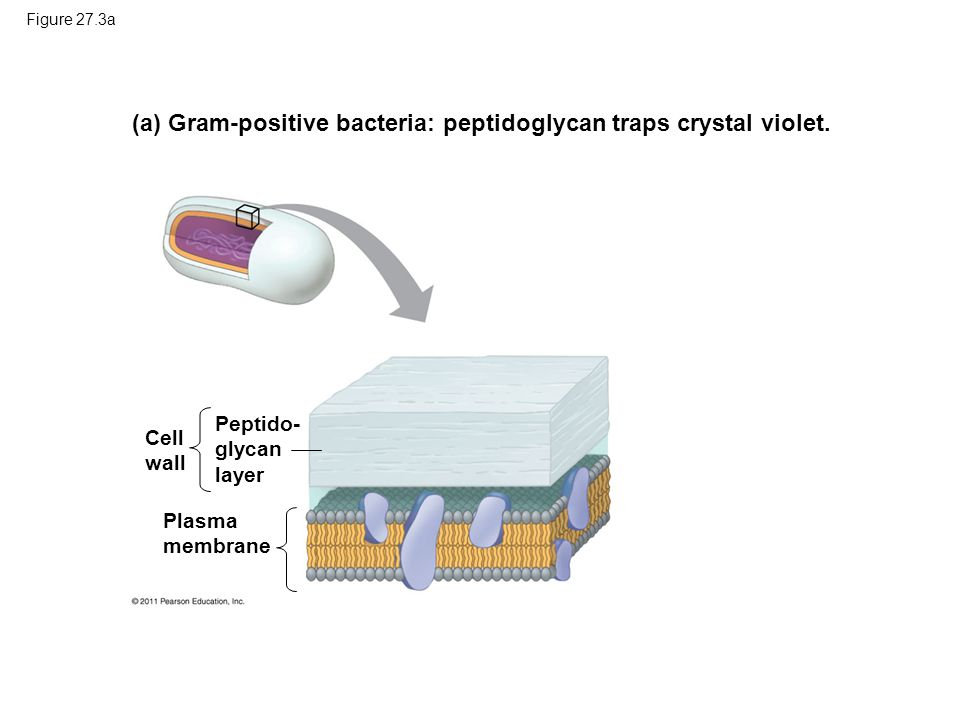 (a) Gram-positive bacteria: peptidoglycan traps crystal violet.