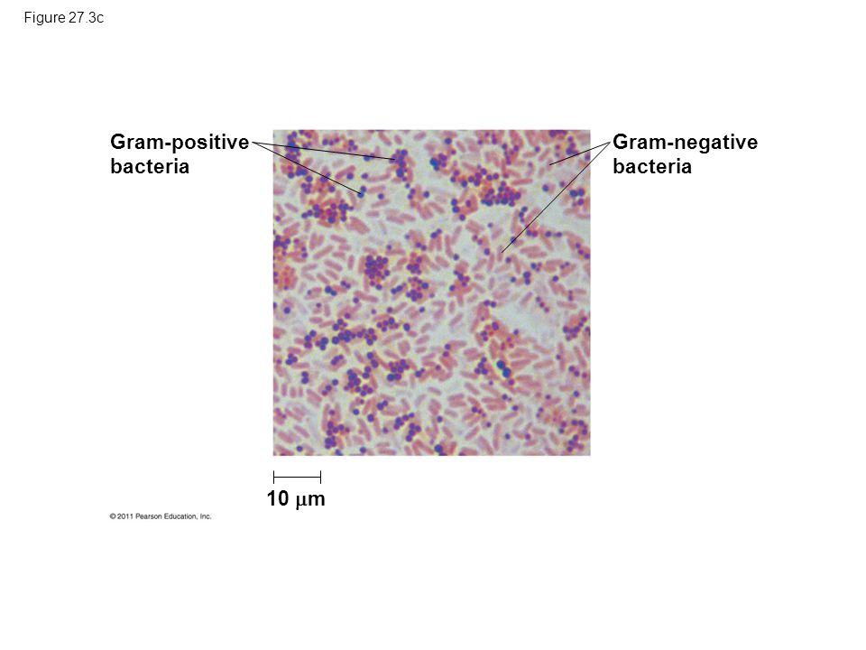 Gram-positive bacteria Gram-negative bacteria 10 m Figure 27.3c