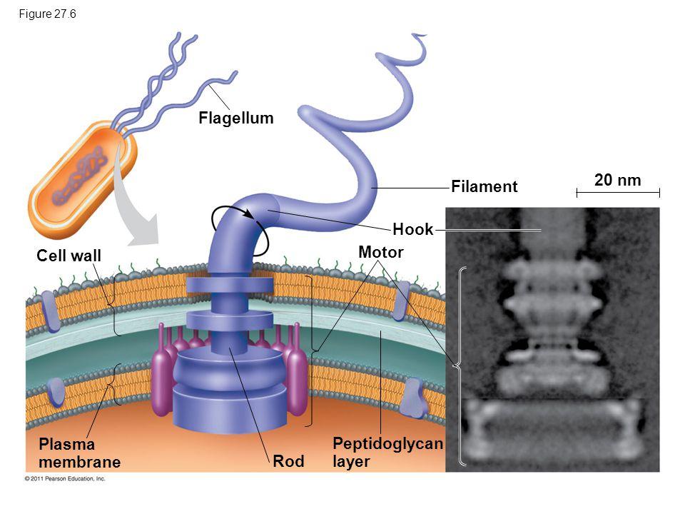 Flagellum 20 nm Filament Hook Motor Cell wall Plasma Peptidoglycan