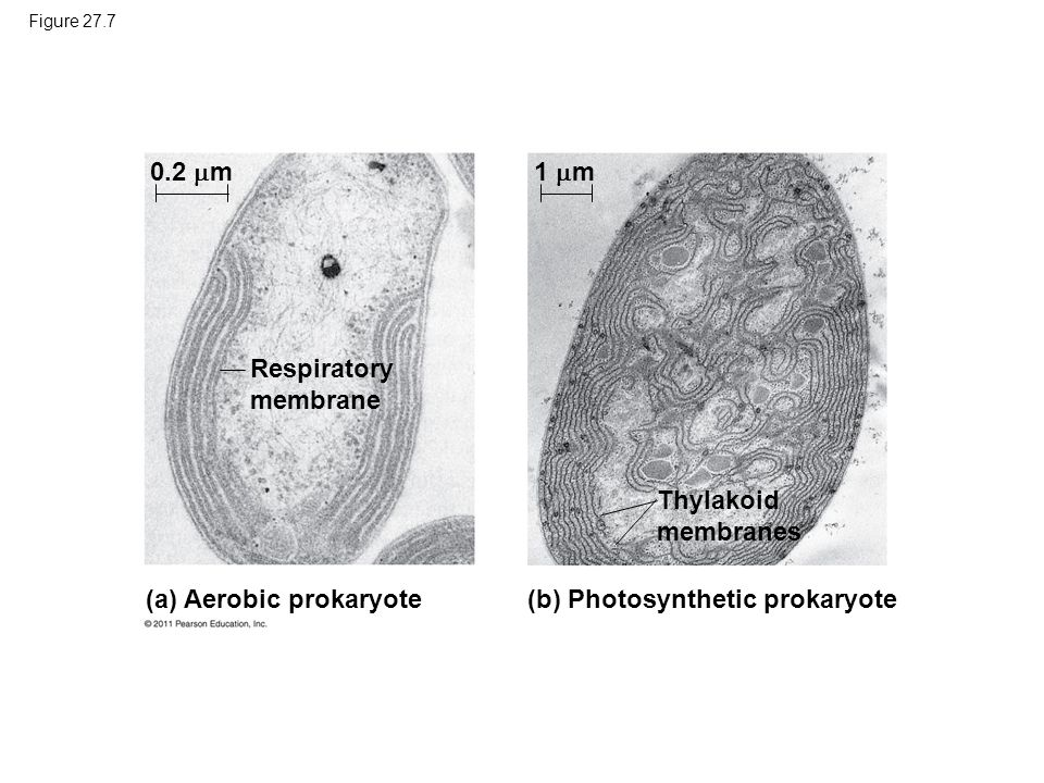 (a) Aerobic prokaryote (b) Photosynthetic prokaryote