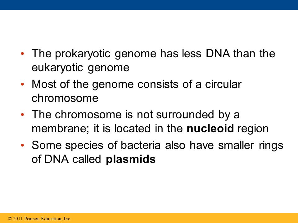 The prokaryotic genome has less DNA than the eukaryotic genome
