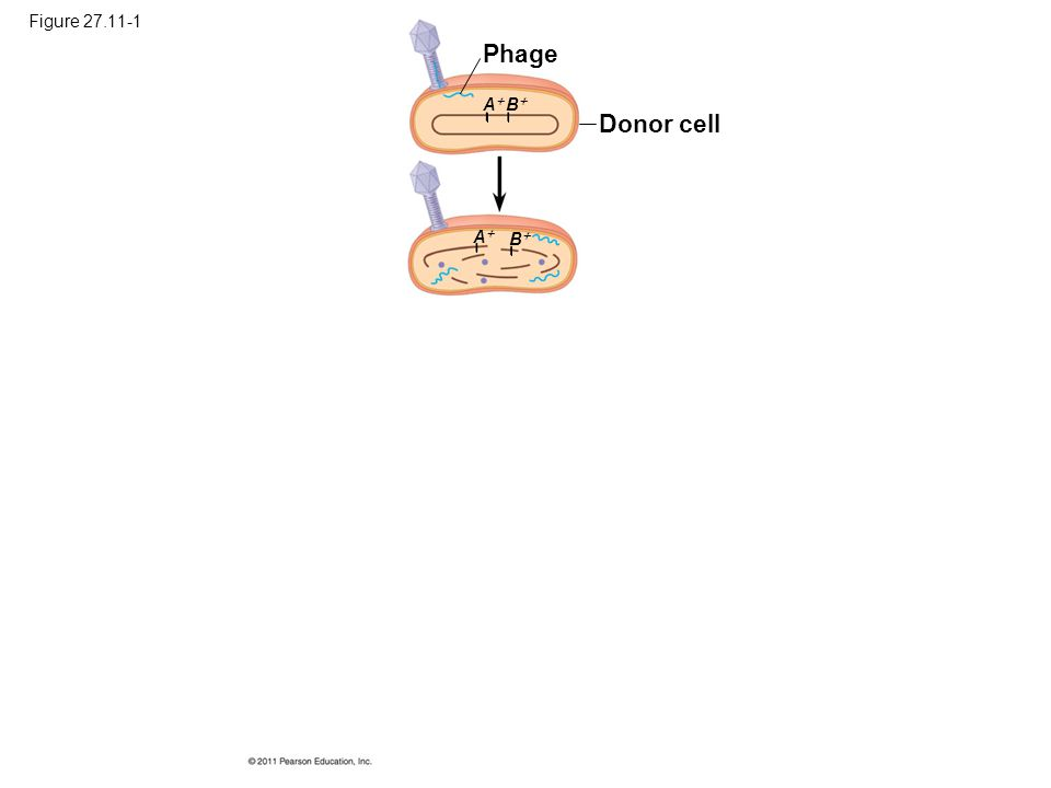 Figure 27.11-1 Phage A B Donor cell A B Figure 27.11 Transduction.