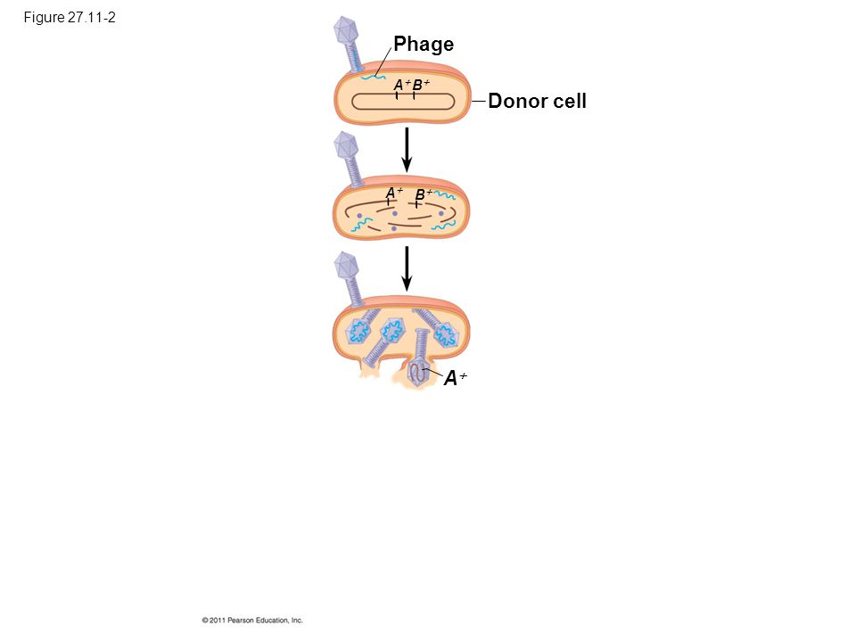 Phage Donor cell A Figure 27.11-2 A B A B