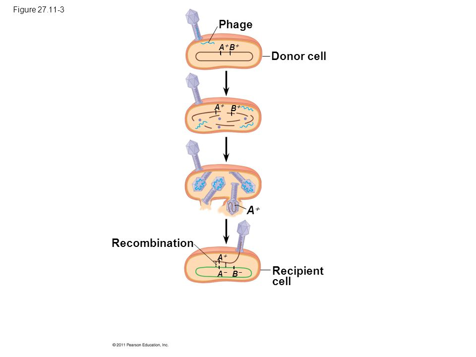 Phage Donor cell A Recombination Recipient cell Figure 27.11-3 A B