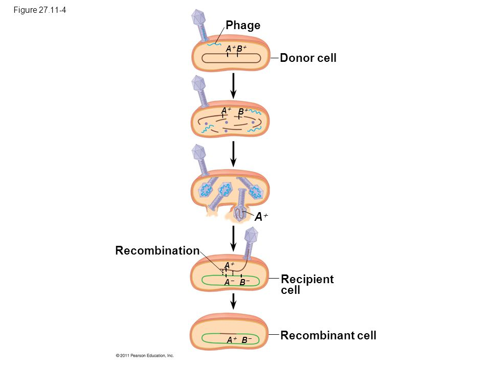 Phage Donor cell A Recombination Recipient cell Recombinant cell