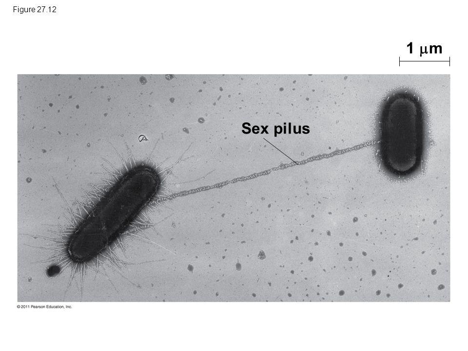 Figure 27.12 1 m Sex pilus Figure 27.12 Bacterial conjugation.