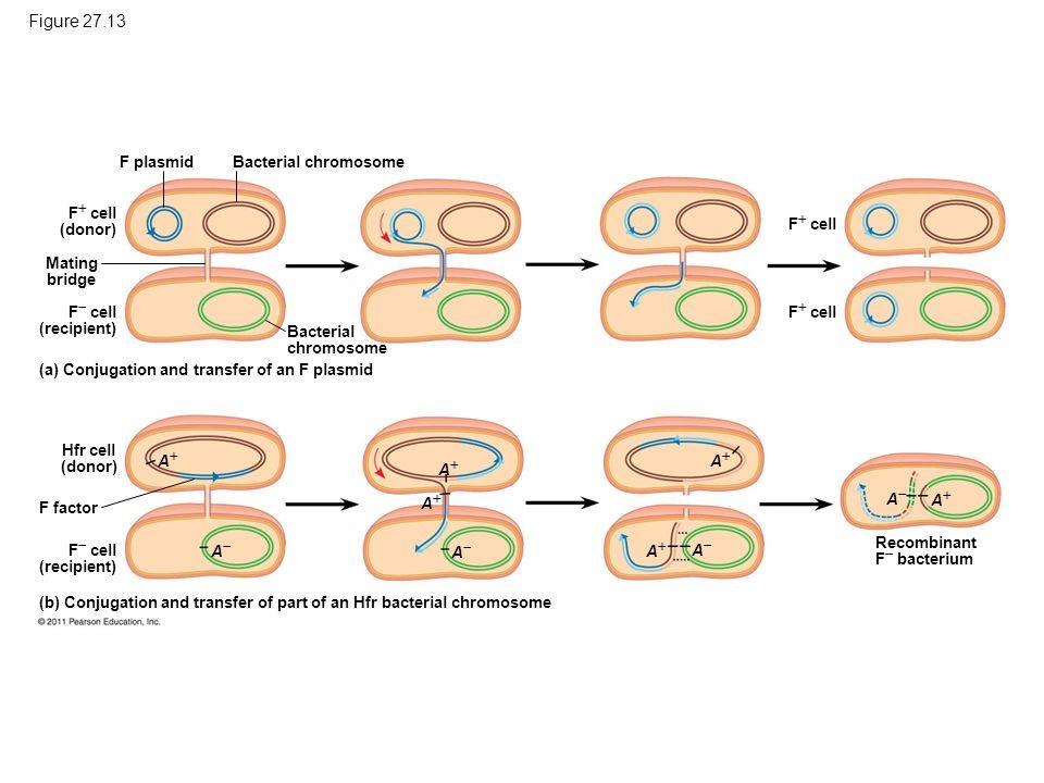 Figure 27.13 Conjugation and recombination in E. coli.